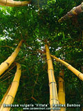 Inside Painted Bamboo Canopy