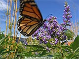 Monarch and Chast Tree