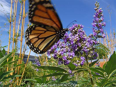 Monarch Butterfly flying around Chast Tree Flowers