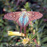 Urbanus-proteus-Long-Tailed-Skipper