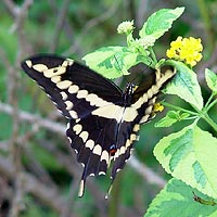 Giant Swallowtail visiting Lantana flowers