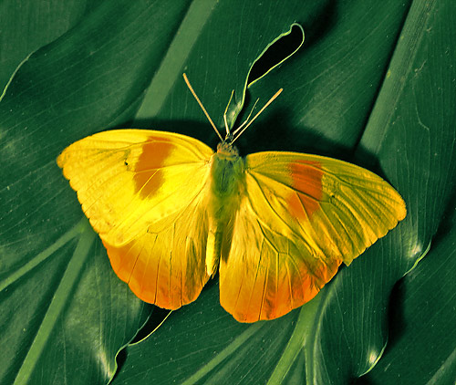 Phoebis philea, the Orange-barred Sulphur