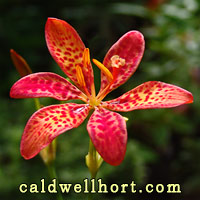 Belamcanda chinensis-Blackberry Lily