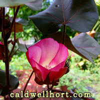 Heirloom Burgundy Cotton Flower