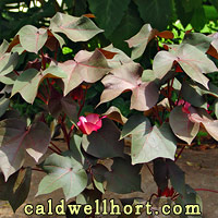Heirloom Burgundy Cotton Foliage