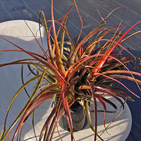 Aechmea recurvata red form
