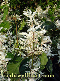 Alternanthera 'Snow on the Mountain'