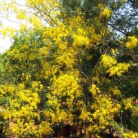 Cassia fistula Golden Shower Tree