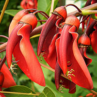 Erythrina crista-galli flower