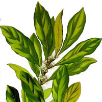 Laurus nobilis - Bay Laurel