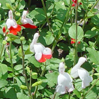Salvia microphylla (grahamii) 'Hot Lips'