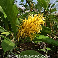 Yellow Justicia aurea