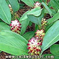 Hidden Ginger - Curcuma - 'Purple Prince'
