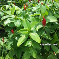 Costus red buttons