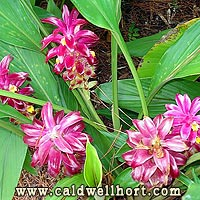 Hidden Ginger---Curcuma X 'Raspberry'