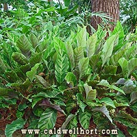 Calathea louisae Bed