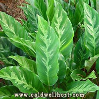 Calathea louisae Leaves