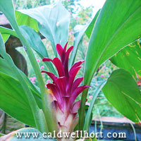 Hidden Ginger Curcuma X 'Raspberry'