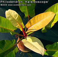 Philodendron 'Kaleidoscope'
