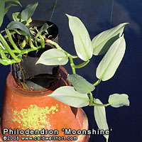 Philodendron moonshine - A blue leaf Philodendron