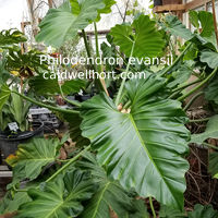 Philodendron evansii